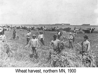 Black and white  photo of men harvesting wheat by hand in a field in northern Minnesota in 1900, surrounded by shocks of wheat and horse-drawn wagons